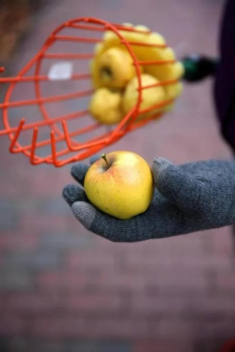 Members of LUC (League of Urban Canners) collected these apples from the tree at Magazine and Cottage streets.